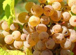 Coulee de Serrant chenin blanc grapes